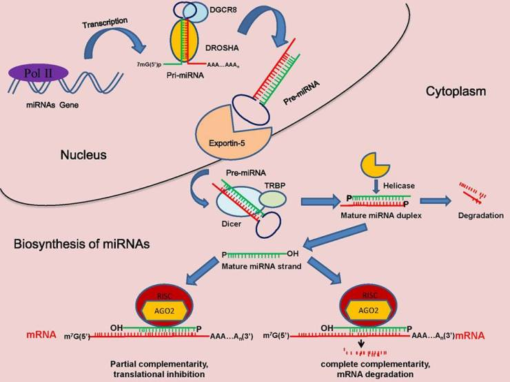 The maturation process of miRNAs