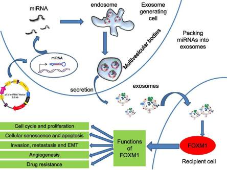 Schematic of microRNA transfer by exosomes